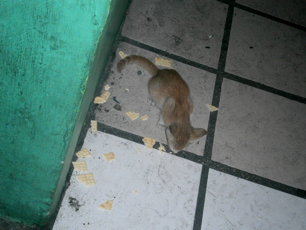 Stray kitten eating some biscuits in Cubao