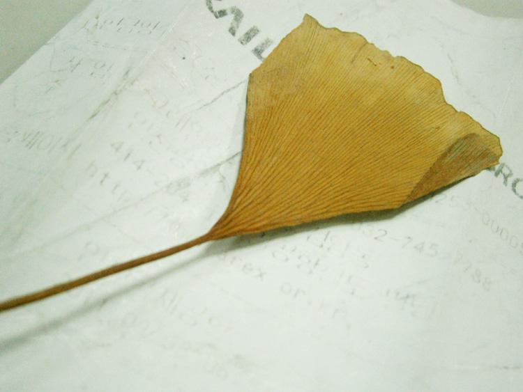 Ginkgo Biloba leaf from a tree near Gyeongbokgung - Seoul, South Korea