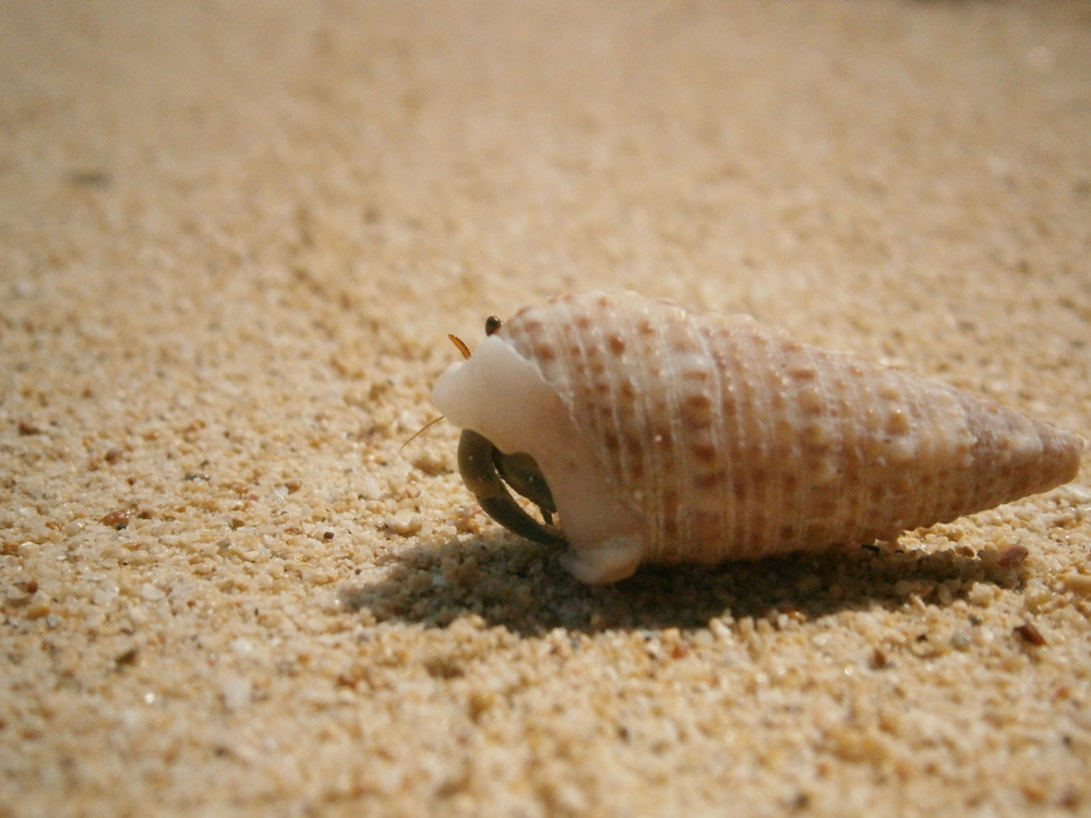Very shy hermit crab - Potipot Island, Zambales