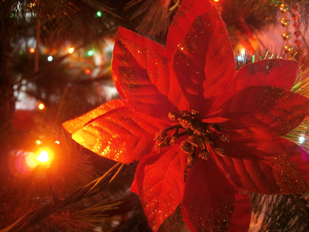 A Poinsettia on our Christmas Tree - Christmas in the Philippines