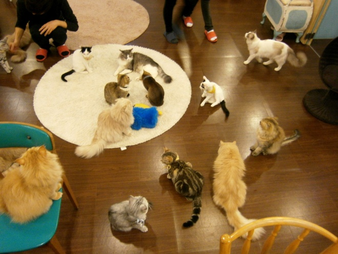All fifteen kitties in a single area --- Cat Café Myeongdong, Seoul
