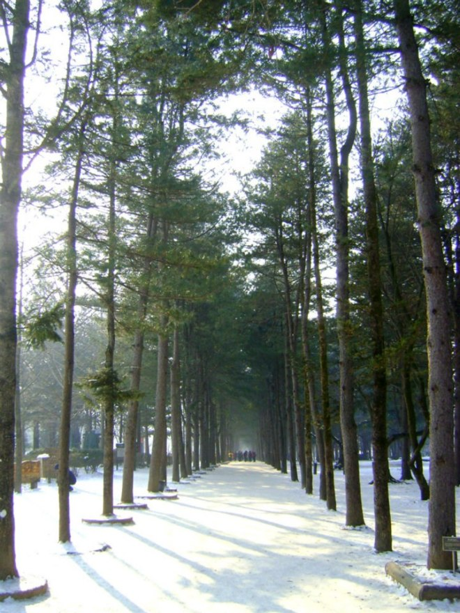 Tree lane in Nami Island - Winter December 2012