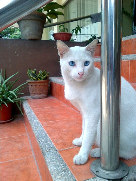 Blue-eyed, white kitty of the neighborhood